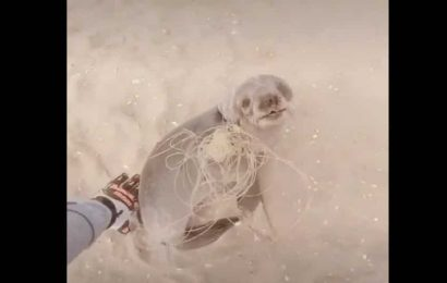 This choking seal was helped by rescuers, its thankful glance will melt your heart. Watch