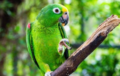 Parrot 'asked' to choose its owner, flies to freedom instead