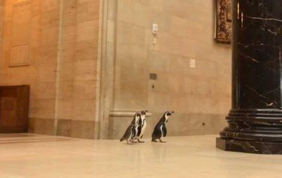Penguins turn art connoisseurs, visit museum for a creative adventure. Watch
