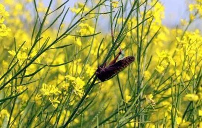 MP's Mandsaur district battles locust invasion
