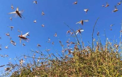 Centre needs to strengthen locust warning system: Rajasthan CM