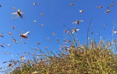 Tackling the locust attack   HT Editorial