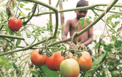 Samples of affected tomato crop sent to Bengaluru to identify 'unknown' disease