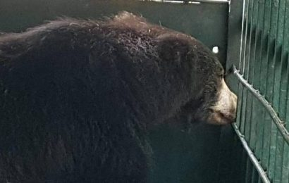 Two bears caged on a single day
