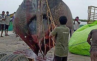 1,150-kg giant manta ray caught off Masula coast
