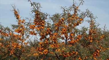 Himachal scientists seek grant from Centre to develop anti-Covid drug from seabuckthorn berry