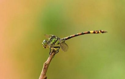 A rare dragonfly spotted in chance encounter
