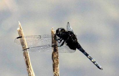 Restless Demon adds to Odonata checklist of State