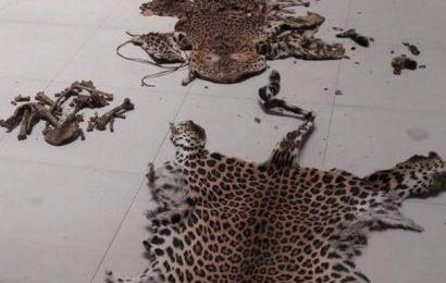 Odisha STF seizes two more leopard skins