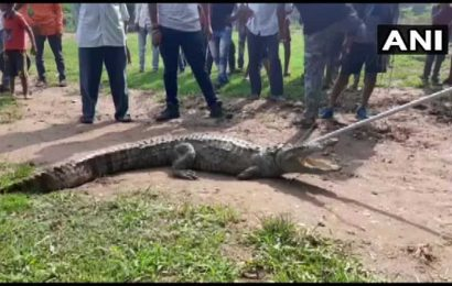 7-feet-long crocodile 'eating up goats and cows' in Vadodara village gets captured