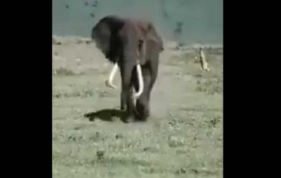 People can't stop gushing over this elephant's walk. Video is stylish and adorable