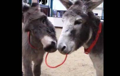 These two donkey besties are ruling Twitter with their cuteness. Watch