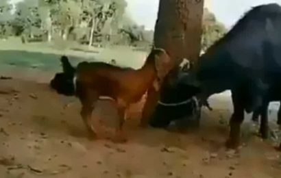 Smart goat uses buffalo as ladder to munch on leaves of a tree. Video will make you giggle