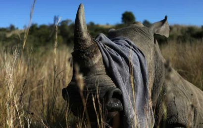 World Environment Day 2020: South Africa dehorns dozens of rhinos to prevent lockdown poaching surge