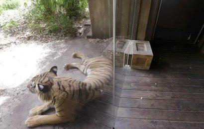 30-year-old man jumps into tiger enclosure at Aurangabad zoo: Official
