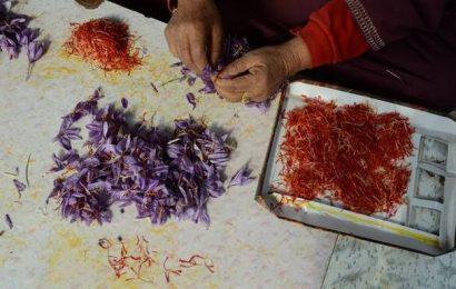 Kashmir saffron now has GI certificate
