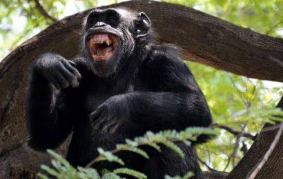 Suzi the chimpanzee celebrates turning 34, with mixed fruit salad