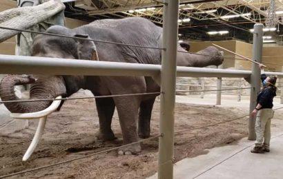 Ever heard of 'elephant yoga'? Video shows jumbo giants exercising