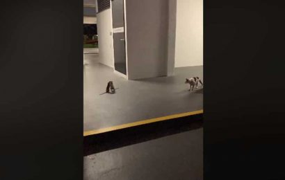 Cat looks on as two rats engage in an epic battle. Watch derpy video