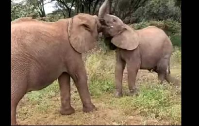 Baby elephants fighting over delicious 'twig' is the perfect dose of cuteness to start your day. Watch