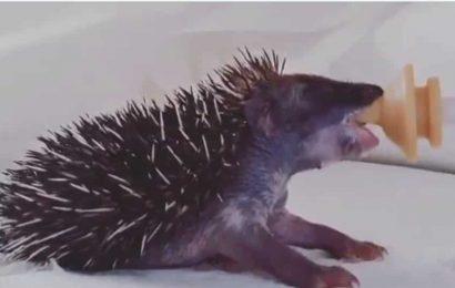 Baby hedgehog's dinnertime clip is making netizens gush. Watch
