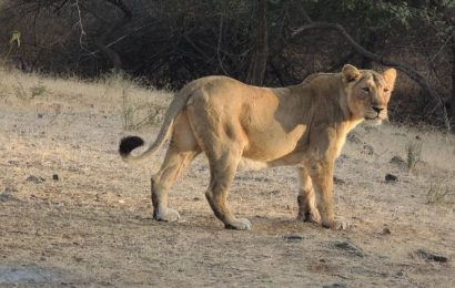 Sick lioness rescued from Amreli dies on way to Junagadh