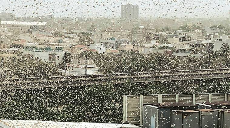Locust swarms: Centre takes various measures to prevent crop losses