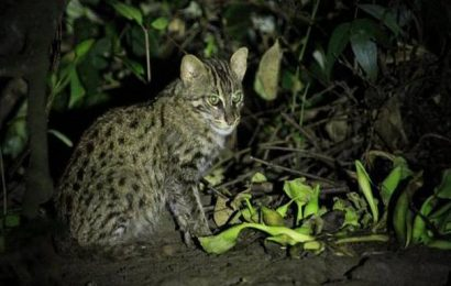 Fishing cat collaring project to begin in A.P.'s Coringa