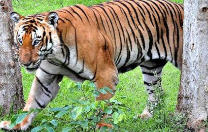 What is India's tiger census not telling us? | The Hindu In Focus podcast