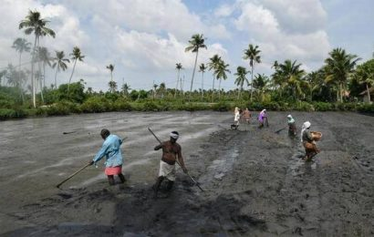 Now pitched as climate adaptive food, Kerala's heritage Pokkali rice cultivation needs support