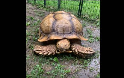 Good to be home: Tennessee tortoise missing for 74 days returns back after being spotted on road