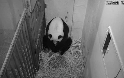 Giant panda gives birth to cub, moment caught on camera. Watch