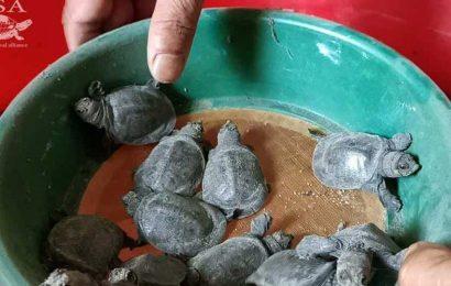 Fresh effort to revive a turtle species considered 'extinct in wild'