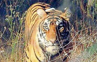 Wildlife dept begins 'individual monitoring' of tigers in MHTR
