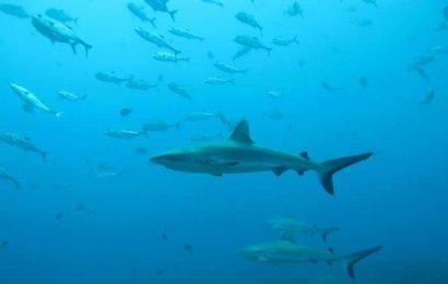 'Secret' life of sharks: Reef sharks show surprising social networking skills