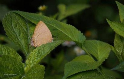 Rare butterfly documented in the Nilgiris after more than a century