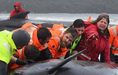 Over 380 whales dead in mass stranding