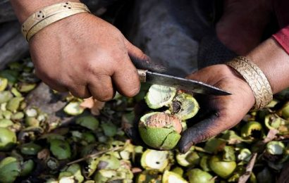 Watch | How are walnuts produced in Kashmir?