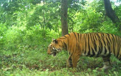 Maharashtra:Yavatmal tigress T2C1 captured, transferred to rescue centre