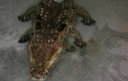 Cop responds to call about an alligator, turns out to be something very different