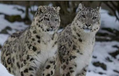 Rare snow leopards spotted last month in Gangotri National Park