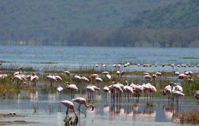 Flamboyance of flamingos returns to Lake Nakuru in Kenya after 8 years