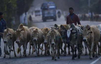 """Assam court's order on cattle found to have """"crept into blatant illegality"""""""