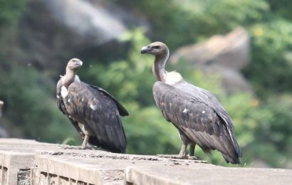 8 white-backed vultures set to be released in wilderness today