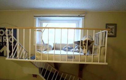 Hooman builds loft for pet corgi in the basement they live in. Video is too cute to handle