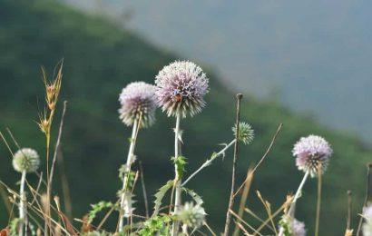 Maharashtra:New plant species discovered in northern Western Ghats