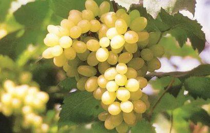 Heavy rain, delayed pruning: Grape season likely to start late