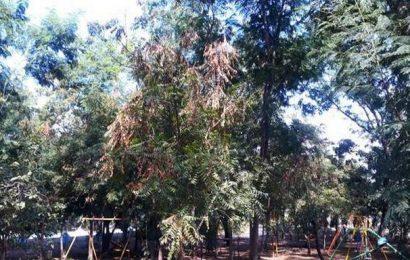 Tea mosquito bug infestsneem trees in Rayalaseema