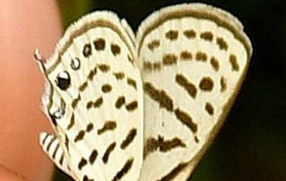 Two more butterfly species recorded at conservatory