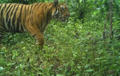 In a first-of-its-kind experiment, Maharashtra to release tigress captured for killing human, livestock back in the wild